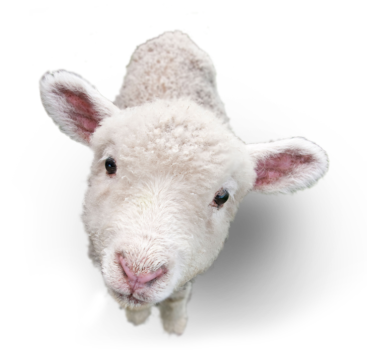 Lamb-PNG-Picture